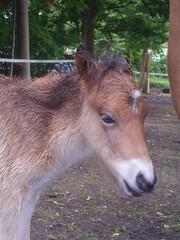 RIMG2352 (Islandpferde ASKUR) Tags: tag2 fohlen r