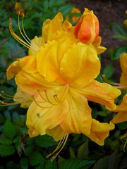"""DSCN0774 (""""Sha') Tags: flowers plants beautiful gardens woods cultivated"""