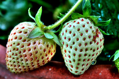 Nature: Unripe White Strawberries