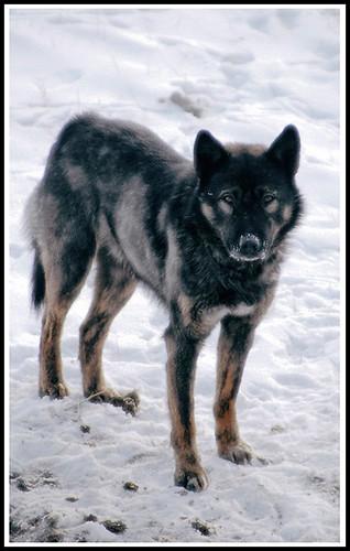 Wild Dog (2)