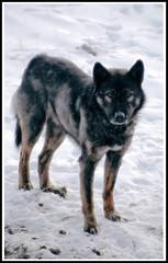 Wild Dog (2) (mngl) Tags: winter dog snow dogs animals nikon deleteme10 mongolia d200 wilddog nikond200 mngl dorj edorj erhemchuhal erkhemchukhal erkhemchukhaldorj erhemchuhaldorj lastfm:event=620445 geoffasi эрхэмчухал