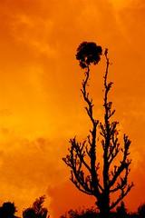 Burn II (Neville_S) Tags: orange india mountain black tree nature beautiful silhouette yellow clouds amazing fantastic glow canon350d eucalyptus dying kodaikanal southindia eucalyptustree nevillesukhiaphotography