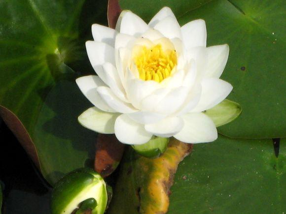 2007.5.12 平安神宮・神苑 睡蓮(スイレン)