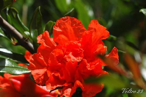 fiori di melograno