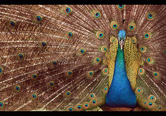 Pavo Misterioso (helenabraga) Tags: fab eye brasil bravo flickr heart group bulls elite soe pavo blueribbonwinner elitegroup flickrsbest worldbest helenabraga fowlfeatheredfriends anawesomeshot diamondclassphotographer pavomisterioso colourartaward goldwildlife thegoldendreams
