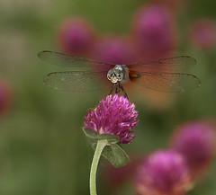 Dragonfly-Portrait-III (dr ama) Tags: deleteme5 deleteme deleteme2 deleteme3 deleteme4 deleteme6 deleteme7 colorphotoaward
