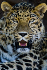 Amur Leopard (dan_garner_s) Tags: wild portrait usa cats nature beautiful beauty animal closeup cat canon rebel eyes wildlife spots exotic leopard bigcat endangered rare dg amur outstanding peopleschoice dlg preditor outstandingshots xti superaplus aplusphoto frhwofavs
