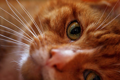 Bart (Pog's pix) Tags: cat bart cute pet animal ginger red indoor indoors inside stewarton ayrshire eastayrshire scotland eye whiskers macro closeup nose fur face head