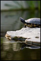 Turtle, Bokeh #2 - by loudtiger