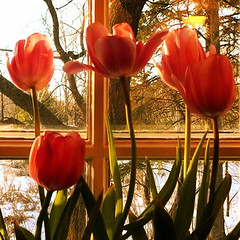 Time for tulipsIm childishly! :D (Denis Collette...!!!) Tags: sunset snow canada window kitchen cuisine bravo searchthebest tulips qubec neige wildwood fentre tulipes firstquality supershot magicdonkey abigfave vision1000 impressedbeauty visiongroup isawyoufirst deniscollette goldenphotographer diamondclassphotographer flickrdiamond bestofr fortsauvage coucherdesoleillabelleheure world100f vision100 vision10000