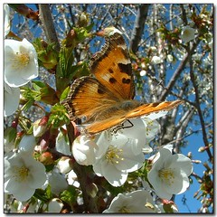Butterfly on Blossoms (Roger Lynn) Tags: macro tree butterfly spring wings bravo moscow blossoms idaho universityofidaho aboretum springtime palouse abigfave