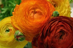Wider Wavelengths (Molly Simoneau) Tags: flowers red orange flower green catchycolors petals cluster blossoms 123 321 ranunculus bud flickrcentral daisychain aroundthehouse flickritis thebiggestgroup togeorgia photographycentral