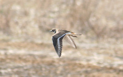 killdeer flying