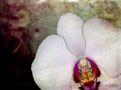 070310 fo 070415 (thethi (don't like beta groups)) Tags: nature fleur composition plante belgium belgique photoshopped creative textured orchidea hainaut setflowers bestof2007 faves45 191108 setnamurcity ruby15 setmorethan25forexplore20062007 albummars