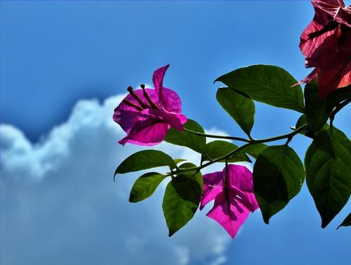 Bougainvillea Flower by neilalderney123.