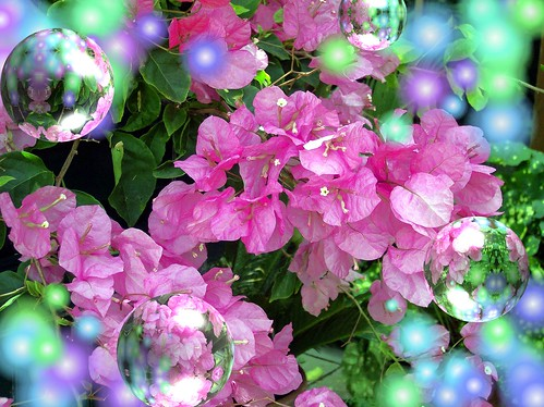 Bubbles and Bougainvillea