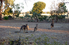 Kangaroos at Parkes