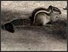 a little tale of a squirrel_1 (Sukanto Debnath) Tags: india animal sepia mammal delhi tinted squirell debnath sukanto