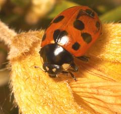 "11 spot Ladybird (Coccinella-undecimpunctata) • <a style=""font-size:0.8em;"" href=""http://www.flickr.com/photos/57024565@N00/465217707/"" target=""_blank"">View on Flickr</a>"