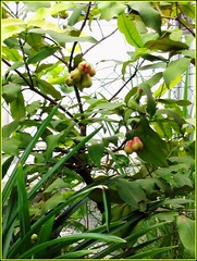 Java Apple (Syzygium samarangense / javanicum) as 'Birdfeeder'
