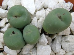 Conophytum (Top View) (joeysplanting) Tags: succulents aizoaceae mesembryanthemaceae conophytum