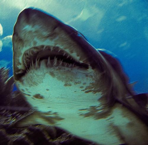 Imagae of a Tiger shark
