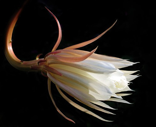 Night-Blooming Cactus #2 - Matutu - 2006
