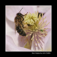 Bee Happy (Heaven`s Gate (John)) Tags: pink flower nature garden insect ilovenature clematis bee pollen beehappy johndalkin heavensgatejohn animalkingdomelite abigfave
