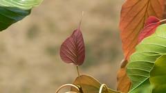 Asbattha (Bengali: ) (dinesh_valke) Tags: trees tree flora ficus evergreen deciduous botree vedo naturesfinest bodhitree moraceae pipal holytree sacredfig peepul ficusreligiosa plaksa pagodatree pimpal mulberryfamily treeofwisdom pipaltree pipul sacredficus bootree buddhatree figueiradospagodes pimpalarooku pimpol   ashwattha   dv200