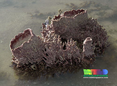 Barrel sponge (Xestospongia sp.?)