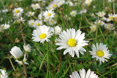 Surrey Spring Flowers #5
