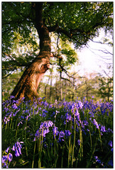 Grand Old Oak and Sea of Blue (jasontheaker) Tags: wood old uk flowers blue trees sunset summer england flower tree forest landscape carpet evening spring oak bell magic yorkshire north perspective professional popular bluebell beautifull wharfedale intresting intrestingness jasontheaker