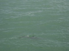 Dolphins in the Gulf