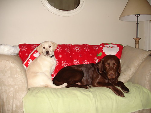 yellow and chocolate labs - Christmas