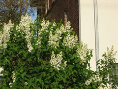 White lilacs (Dee Pix) Tags: minnesota minneapolis shrubs lilacs whitelilacs stevenssquareloringheights