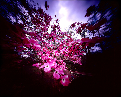 Pink Dogwood in a Light Breeze, 4x5 Film Pinhole Photo