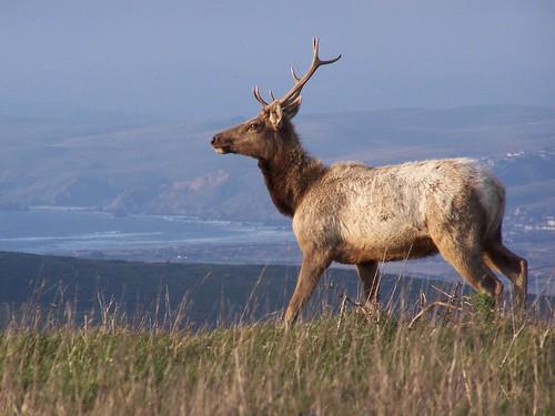 20070301 Tule Elk