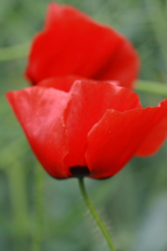 a study in coquelicots 1