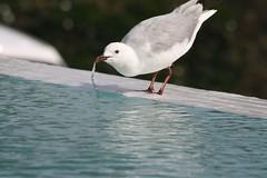 Gull sipping (pavilioners) Tags: blue bird water seagull soe rightplacerighttime shieldofexcellence anawesomeshot impressedbeauty diamondclassphotographer flickrdiamond
