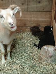 Goat? & babies