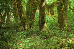 Olympic National Park - Hoh Valley - Hall of Mosses Trail - by rachel_thecat