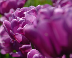 Lilac Perfection (wdthem) Tags: tulips albanyny tulipfestival lilacperfection