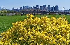 Golden Dreams (BehindBlueEyes) Tags: skyline newjersey jerseycity manhattan nj libertystatepark spiraea hudsoncounty goldmound