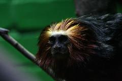 0081 (Blueorbit) Tags: monkey londonzoo goldenheadedliontamarin
