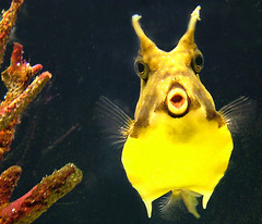 Red, yellow and blue (moggierocket) Tags: fish cute yellow aquarium funny puffer lige cowfish blueribbonwinner
