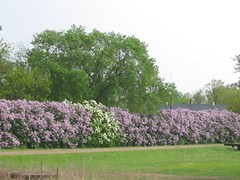 437f Lilacs as hedgerows