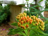 Butterfly Weed 蝶 (mightyquinninwky) Tags: orange green award explore frontyard invite westernkentucky momanddadshouse morganfieldkentucky exploreformyspacestation bestofformyspacestation