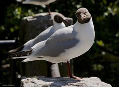 Black headed gull, curious (Edgar Pinelo) Tags: black birds gull headed