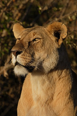 Lioness Portrait (Lyndon Firman) Tags: africa animal animals searchthebest kenya lion safari lioness soe masaimara naturesfinest blueribbonwinner supershot flickrsbest specnature cc300 animaladdiction specanimal animalkingdomelite abigfave specanimalphotooftheday anawesomeshot impressedbeauty superbmasterpiece diamondclassphotographer flickrdiamond superhearts