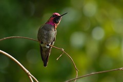 Anna's Hummingbird  (Y. Peter Li Photography) Tags: anna green bird birds hummingbird sandiego calypte naturesfinest superbmasterpiece beyondexcellence